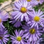 New England Aster: How To Grow And Care For Aster Novae-Angliae