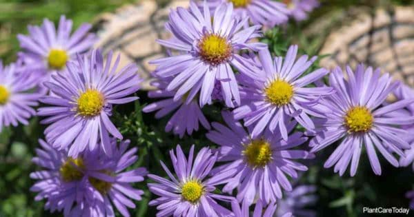 Blooming Aster Novae-Angliae (New England Aster Plant)