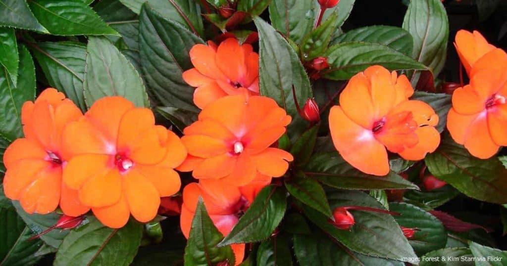 orange New Guinea impatiens in flower