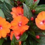 How To Plant, Grow & Care For New Guinea Impatiens