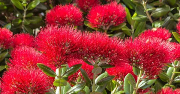Flowering New Zealand - Metrosideros - Christmas Tree