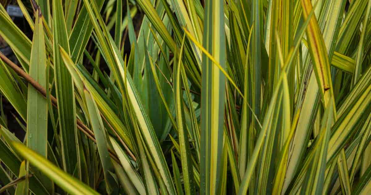 Flax (New Zealand) Care: Growing the Sword-Like Phormium