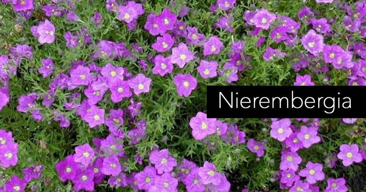 nierembergia-07312016