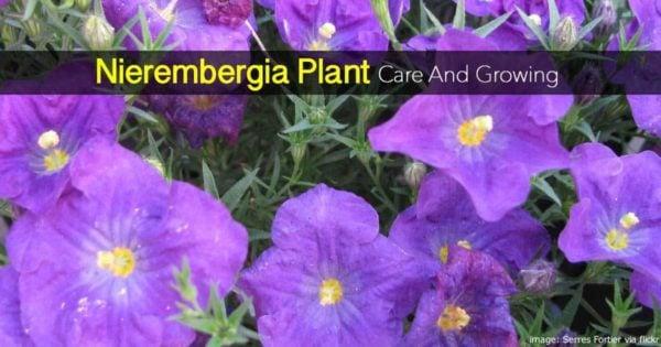 Blooming Nierembergia plant