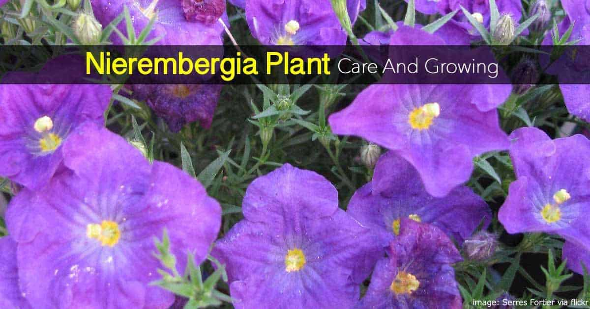 Nierembergia Plant Care How To Grow The Cupflower