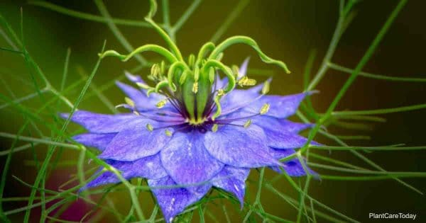 blooming nigella flower
