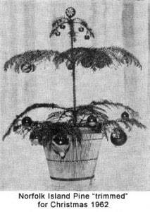Decorated Norfolk Island Pine 1902