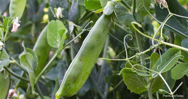 peas help add nitrogen to soil