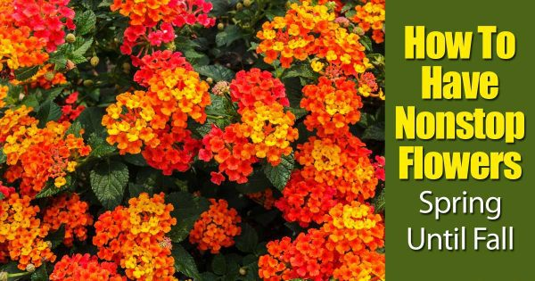 Lantana plants full of orange heads of flowers