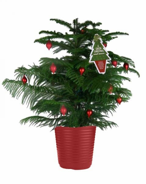Decorated Araucaraia plant - Norfolk Island Pine - image via Costco