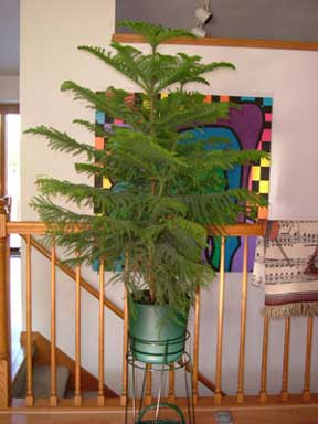 How To Care For Norfolk Island Pine - Araucaria