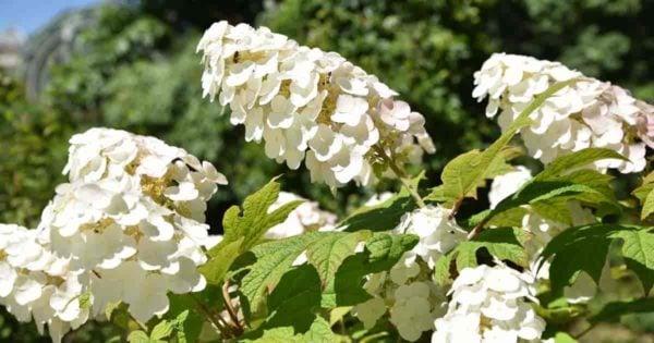 Hydrangea oakleaf flowers
