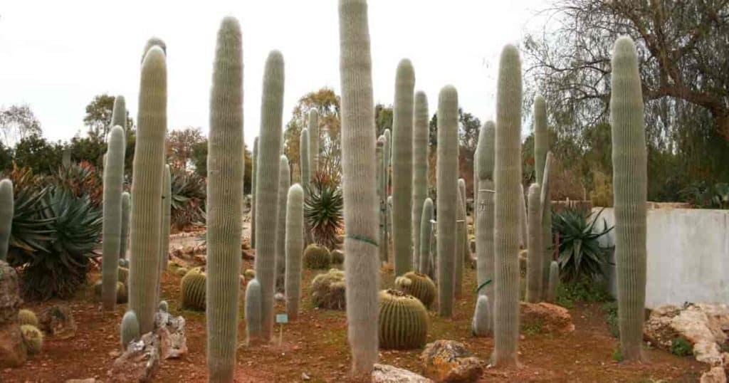 Old Man Cactus - Botanicactus - Mallorca, Spain