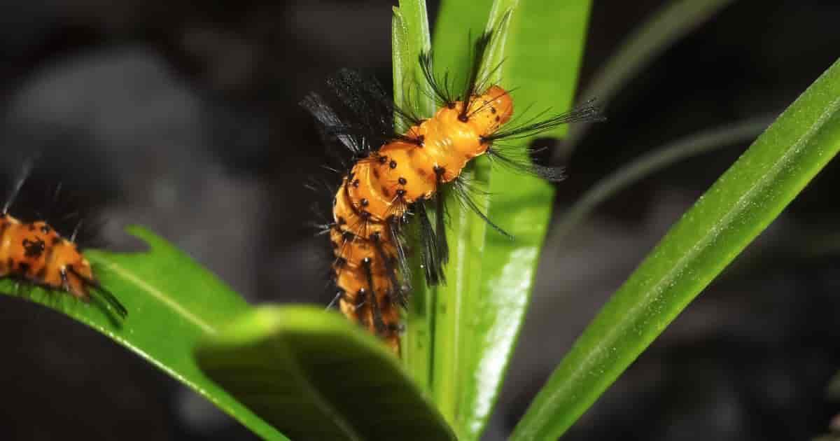 Oleander Worm or Caterpillar