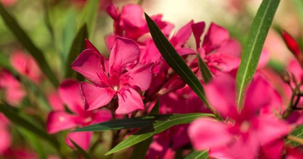 oleander flowering