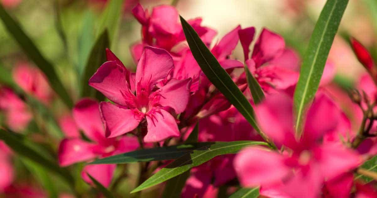 oleander-flowering-05312016