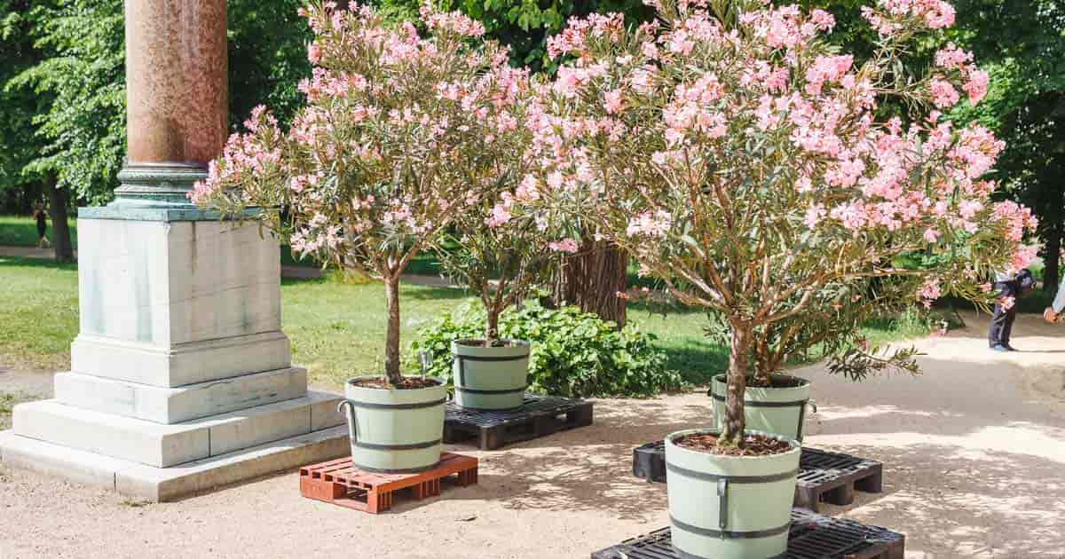 Pink Oleander Trees ready for use at restaurant