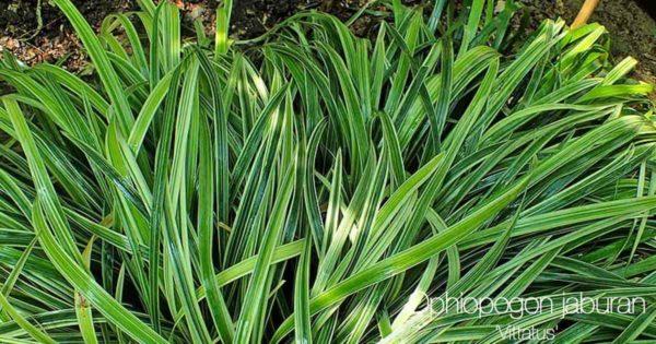 Striped Mondo Grass aka Ophiopogon Jaburan
