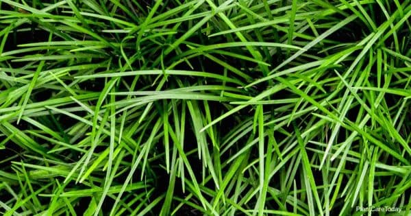Fine leaves of Ophiopogon japonicus Mondo Grass