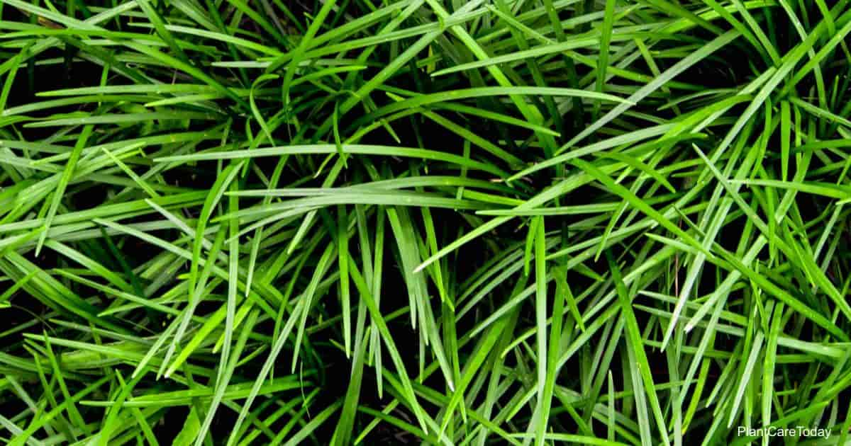 Thin leaves of Mondo Grass - Ophiopogon japonicus
