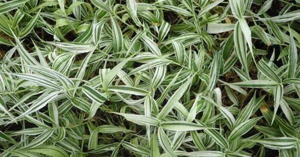 variegated form of Oplismenus Hirtellus grass