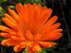 orange-aster