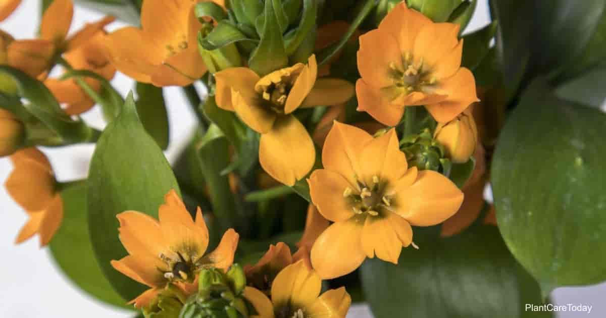 blooms of the orange star plant (Ornithogalum dubium)