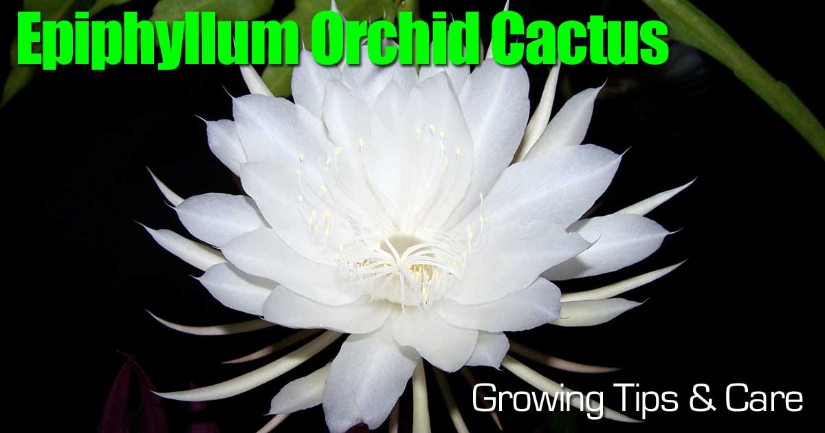Epiphyllum Orchid Cactus: Growing Tips And Care