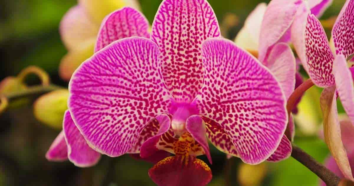 Phalaenopsis Orchid Care Tips For Growing The Moth Orchid