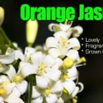 Orange Jasmine A Lovely Fragrant Plant Grown in a Variety of Styles