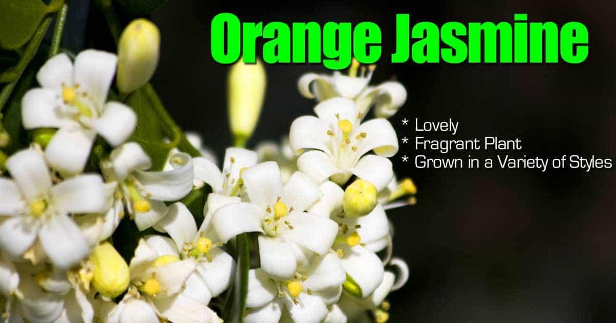 Blooms of the orange Jasmine shrub