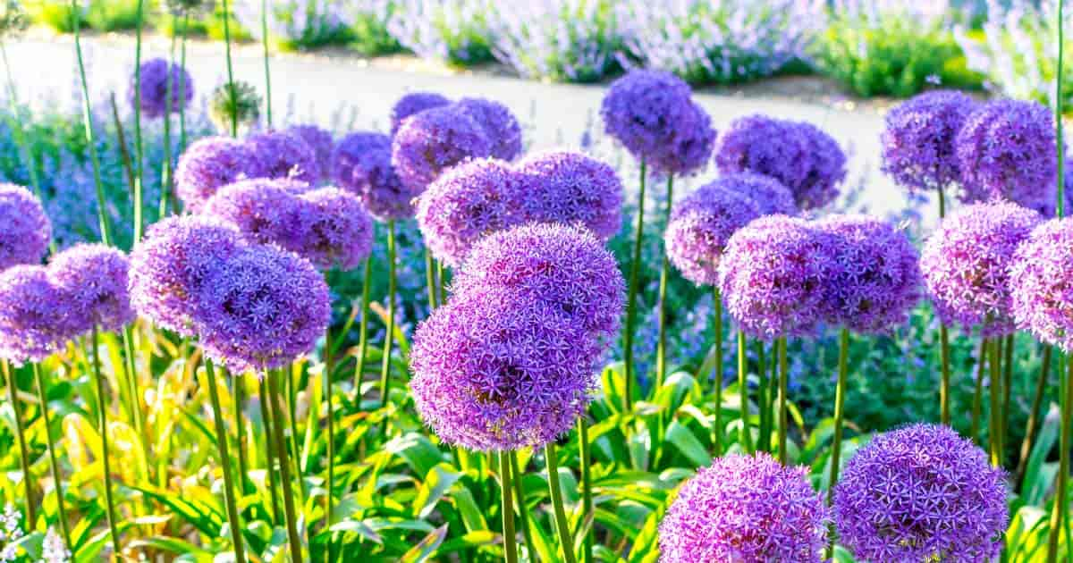 Planting of Ornamental Allium giganteum in bloom