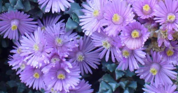 Oscularia Deltoides - Pink Ice Plant Succulent