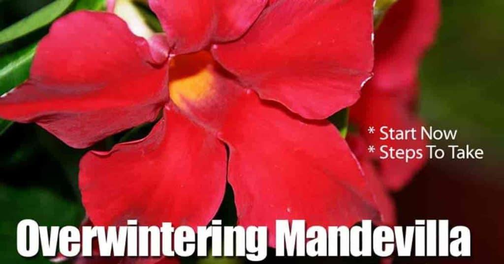 Mandevilla flower have you tried overwintering your rocktrumpet