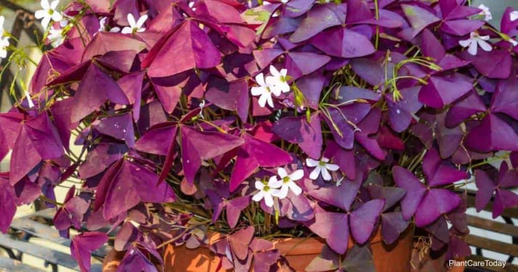 Purple Shamrock Oxalis