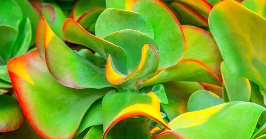 Flapjack plant the K. thyrsiflora