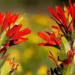 Learn How To Grow Castilleja Coccinea (Indian Paintbrush)