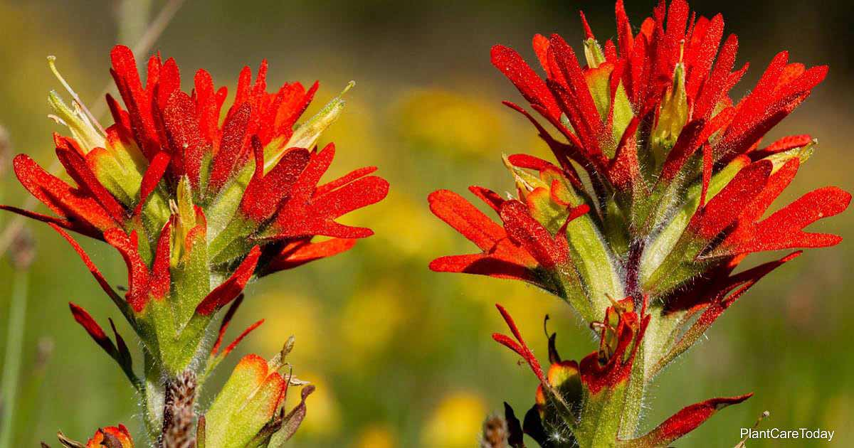 Red blooms of Castilleja Coccinea