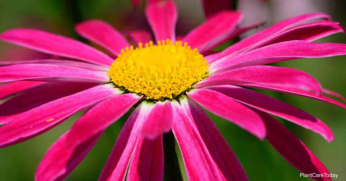 Flowering Tanacetum coccineum - Painted Daisy