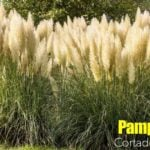 Pampas Grass: How To Grow And Care For Cortaderia Selloana