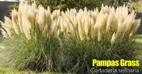 flowering clump of pampas grass in full bloom