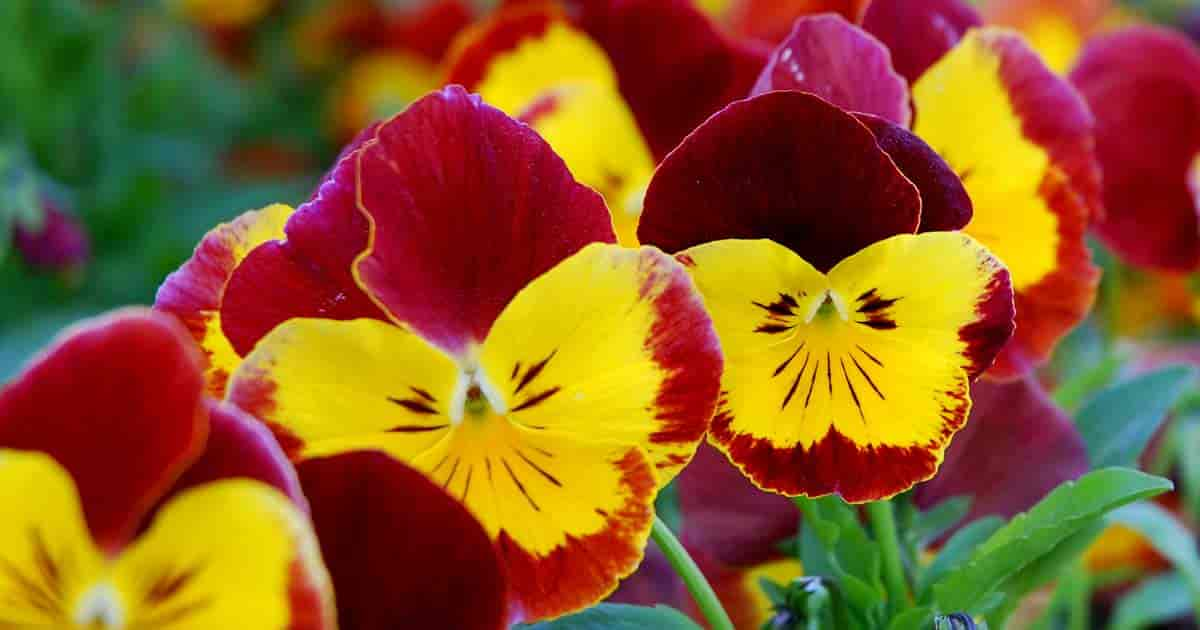 Modern Pansies with bright colorful flowers