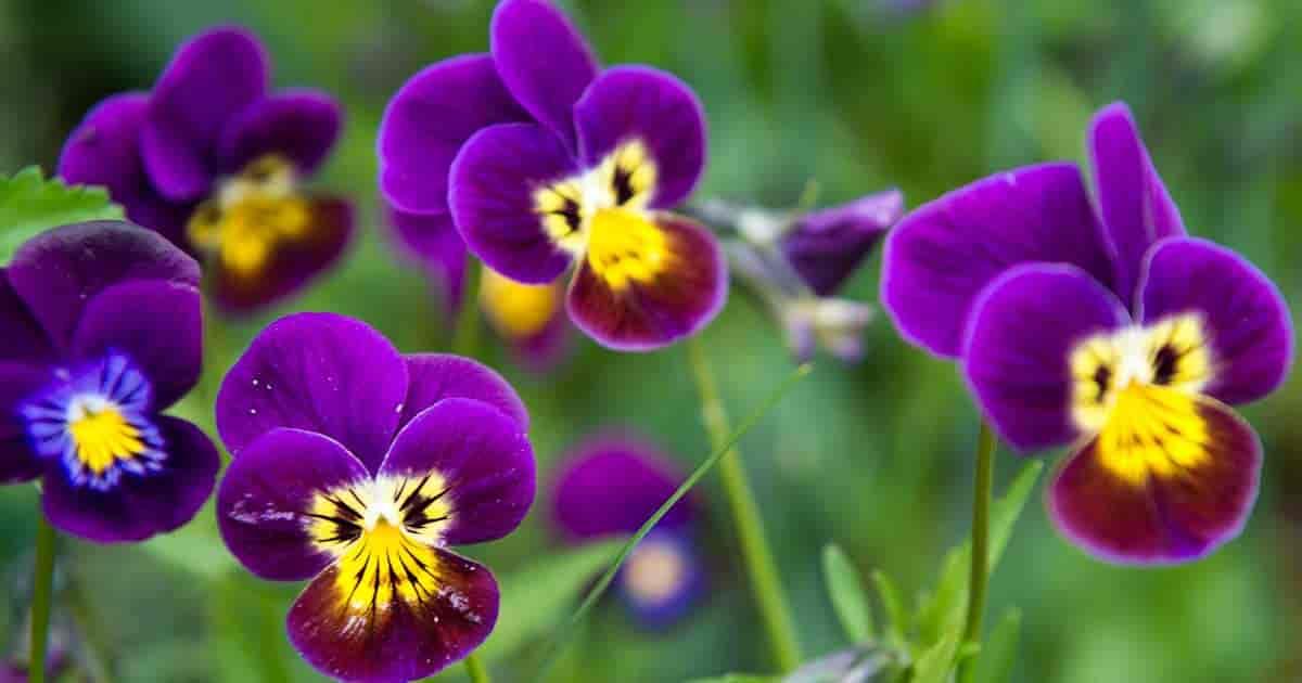 Johnny Jump Up's - Viola Tricolor