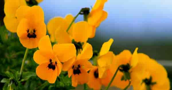 Flowering Yellow Pansies