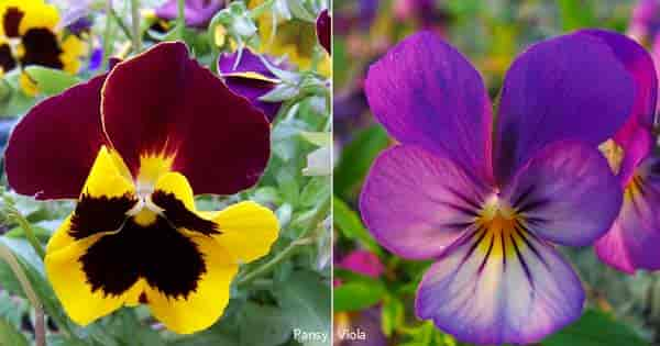 pansy flower and the viola flower side by side