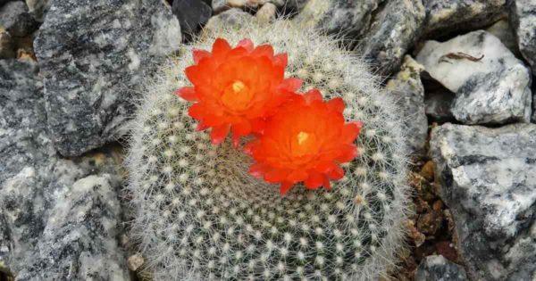 ball cactus (Parodia) in bloom