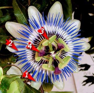 Passion flower vine symbolized with the crucifixion