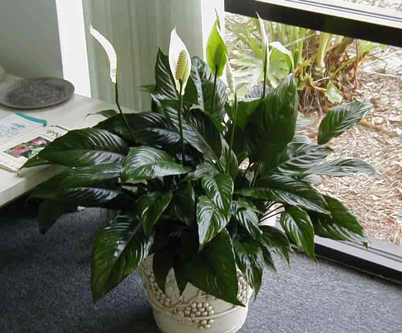 Spathiphyllum - Peace lily growing as a houseplant
