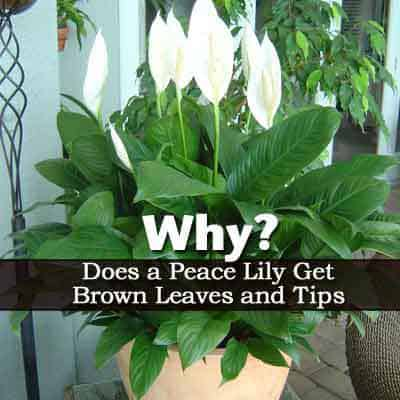 why do peace lily flowers turn green and brown. Black Bedroom Furniture Sets. Home Design Ideas