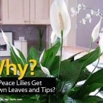 Why Do Peace Lilies Get Brown Leaves and Tips